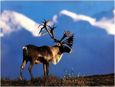 Woodland caribou population in danger