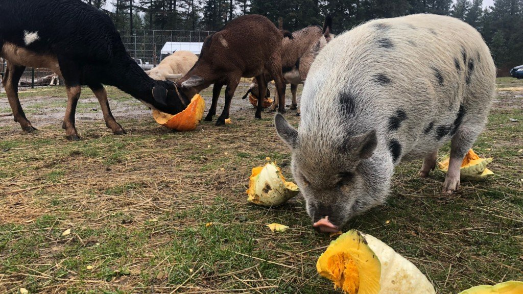 These animals in Green Bluff will gladly take your leftover pumpkins
