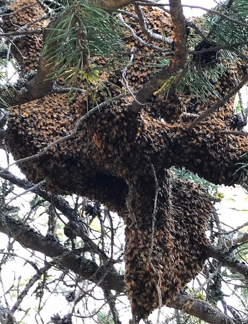 Woman finds massive honey bee swarm in her tree