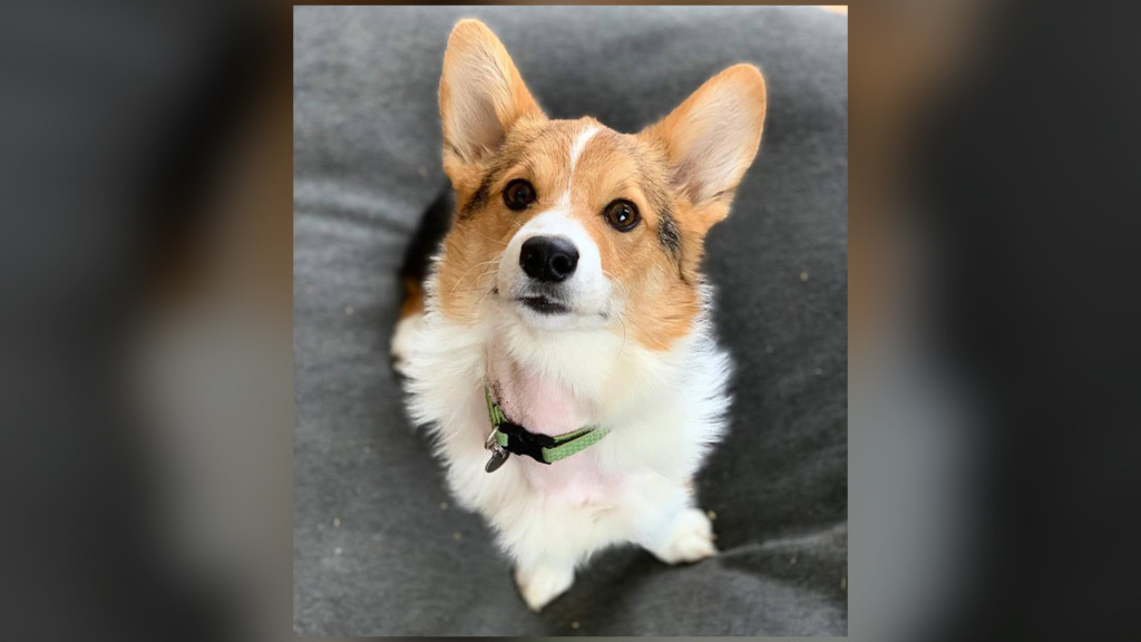 WSU veterinarians team up with MD to save corgi puppy in what may have been a veterinary first