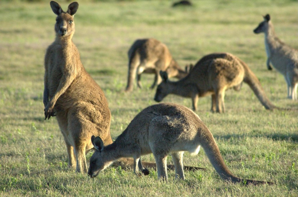 7 kangaroos temporarily removed from home after 1 escaped