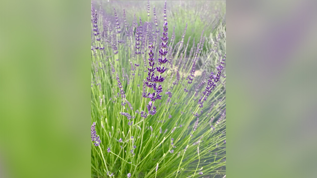 Stop and smell the lavender at Evening Light Lavender's annual U-Pick Lavender Festival