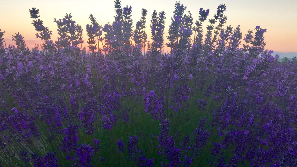 De-stress after the 4th of July holiday at Evening Light Lavender's annual U-Pick Festival!