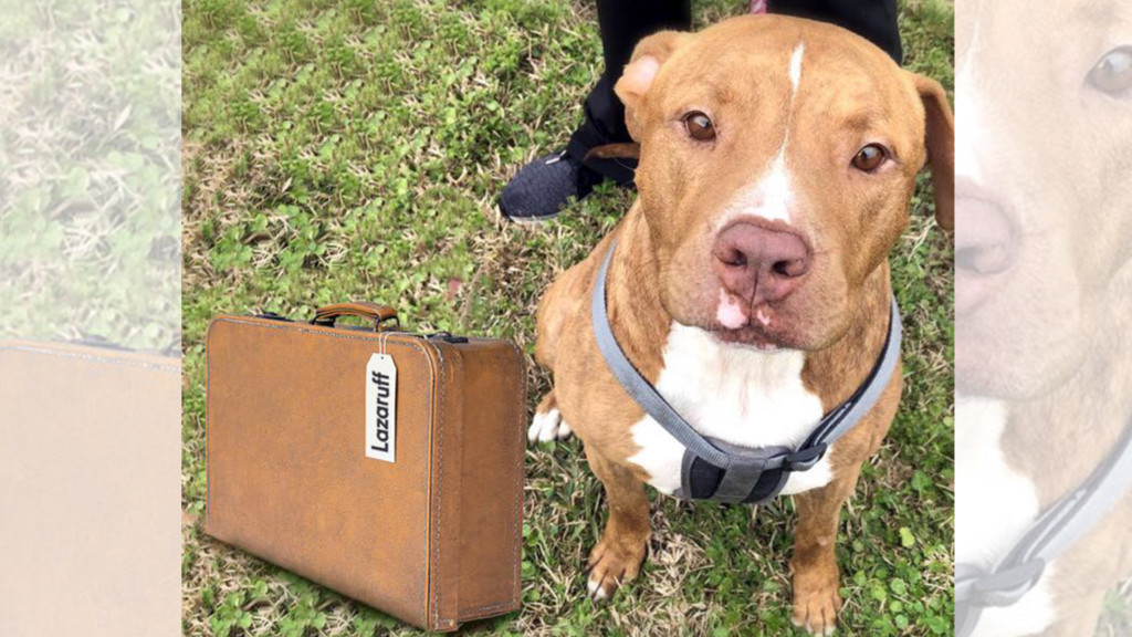 Pitbull 'raised from the dead' looking for fur-ever home in N. Idaho