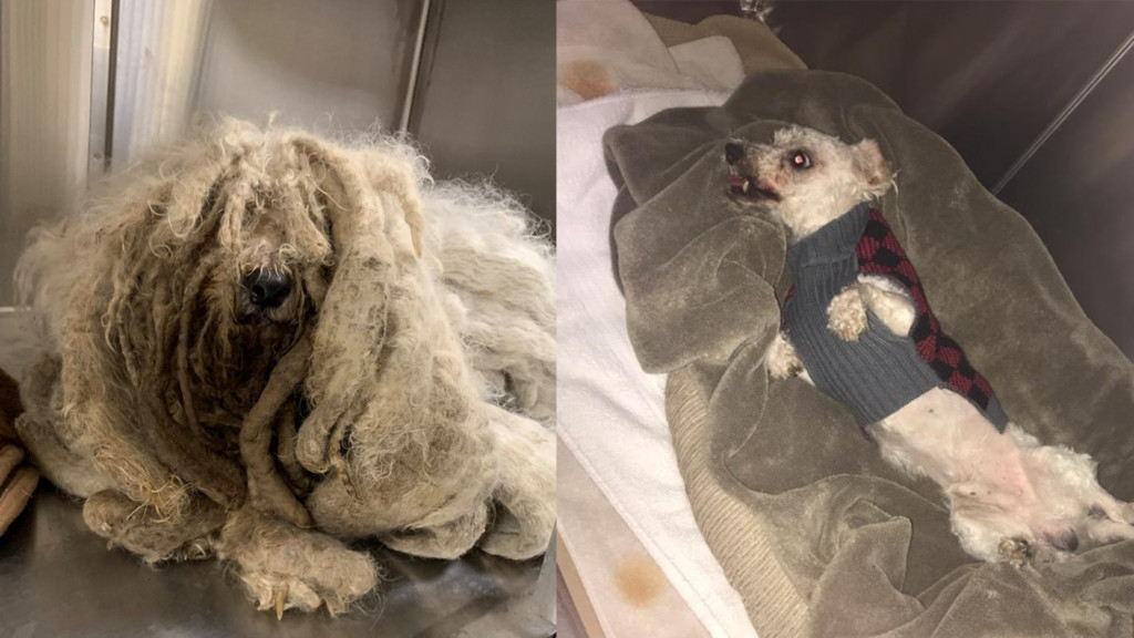 SCRAPS gives full makeover to dog covered in matted fur