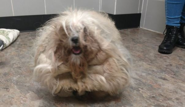 Spokane Humane Society rehabilitates 3 severely matted, neglected dogs
