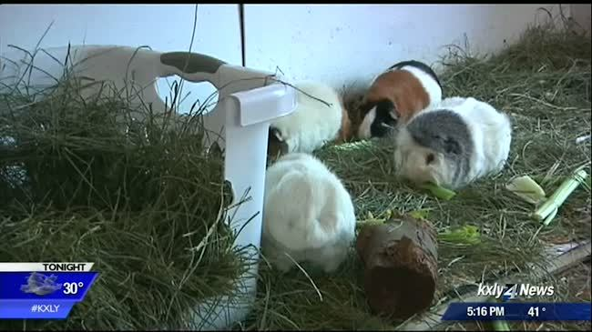 Mix up leaves family with dozens of baby guinea pigs