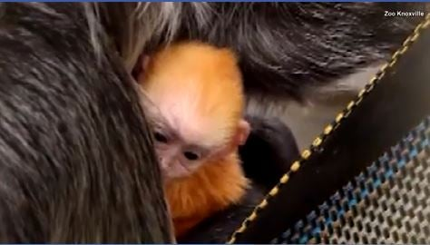 Zoo surprised when baby was born after arrival of 3 adult monkeys