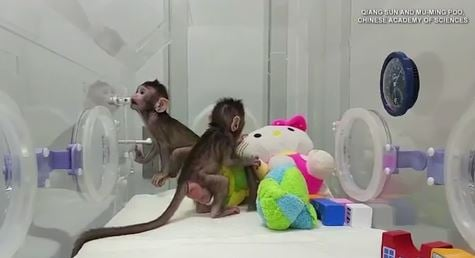 Adorable monkeys are the first primates to be cloned