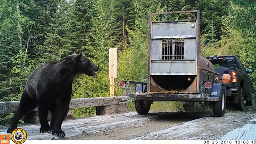 WATCH: The power of a grizzly on full display during Montana FWP release