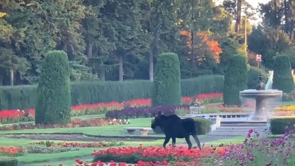 ICYMI: Moose enjoys the beginning of fall by taking a stroll through Manito Park