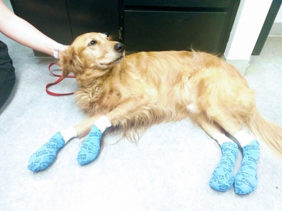 Dog burns his paw pads completely off on hot pavement, vets remind owners to remember your pets