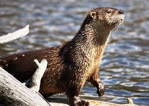 77-year-old woman attacked by rabid otter
