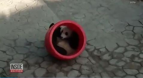 Giant panda has love and hate relationship with his favorite new toy