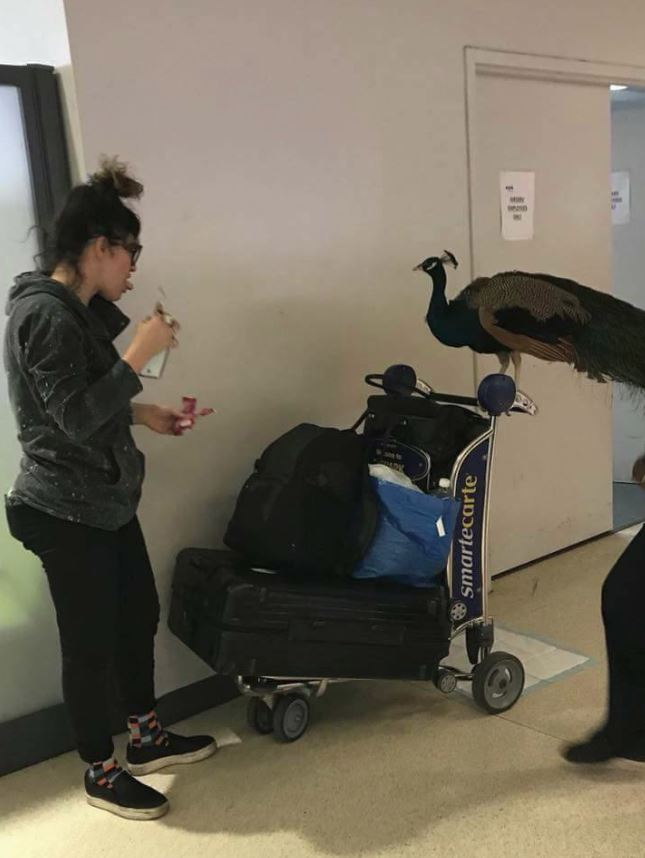 Woman's emotional support peacock kicked off United flight