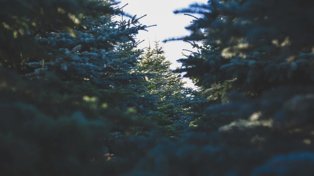 Green Bluff Christmas Tree season is almost here!