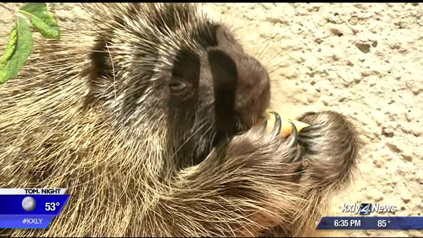 Prickly pokey PT, WSU veterinarians putting a recovering porcupine through his paces