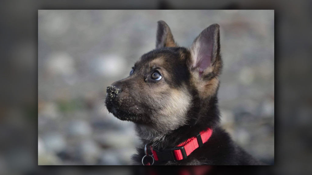 There may be hope to save 'forever puppy'