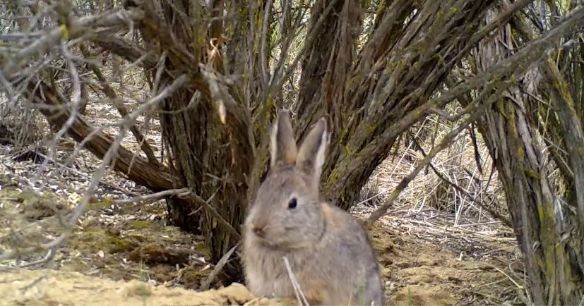 WDFW biologists to use drones to aid conservation efforts of endangered pygmy rabbits this winter