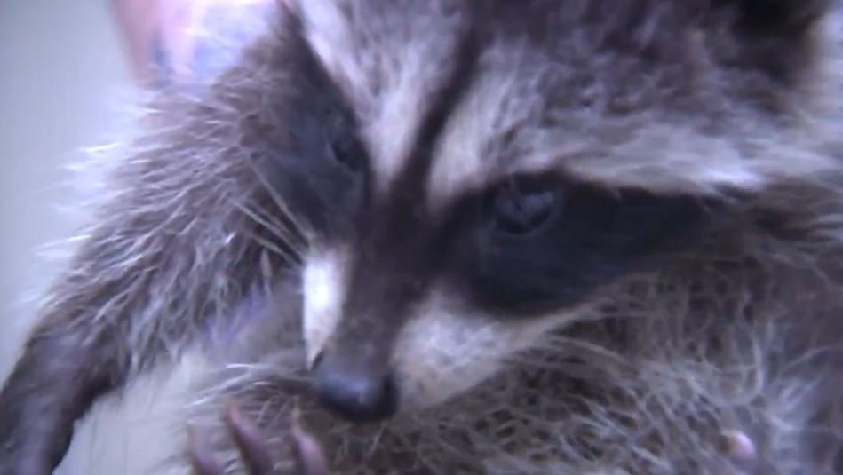 Four baby raccoons being rehabilitated at WSU