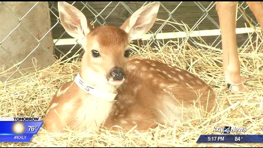Resist the urge: Wildlife rehabbers say to leave fawns be