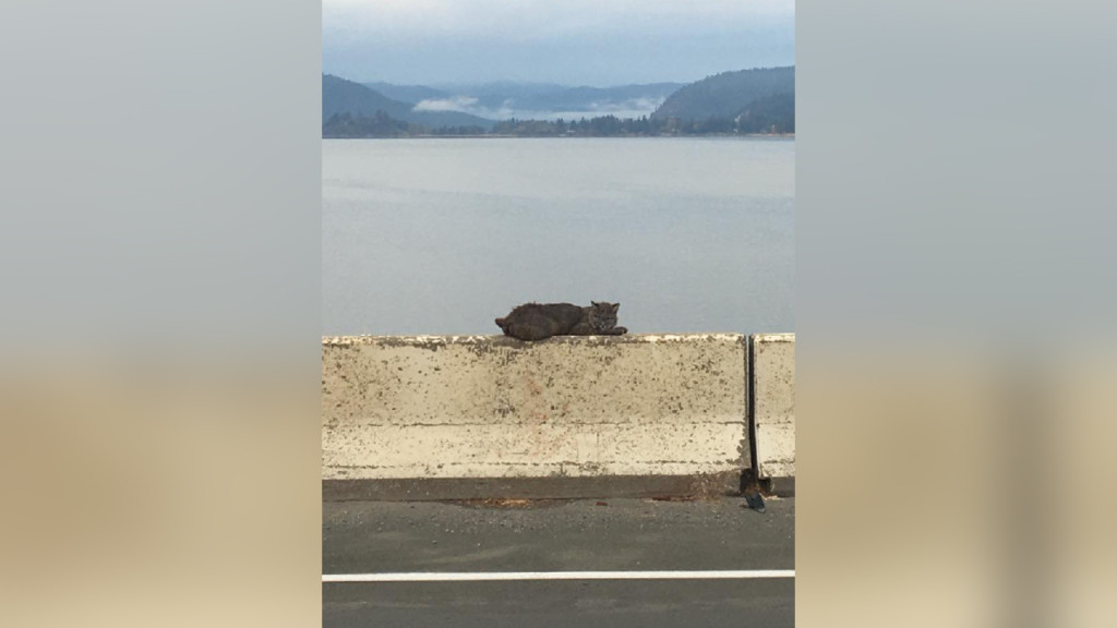 Bobcat in Sandpoint finds unusual spot to chill