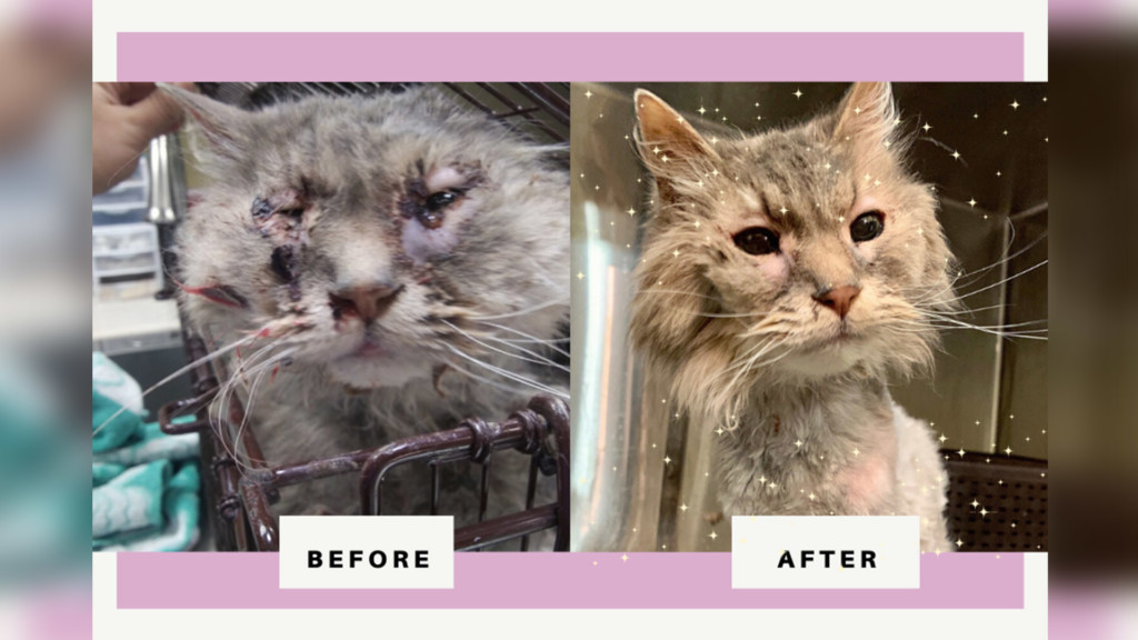Cat with serious infection treated at SCRAPS, now up for adoption