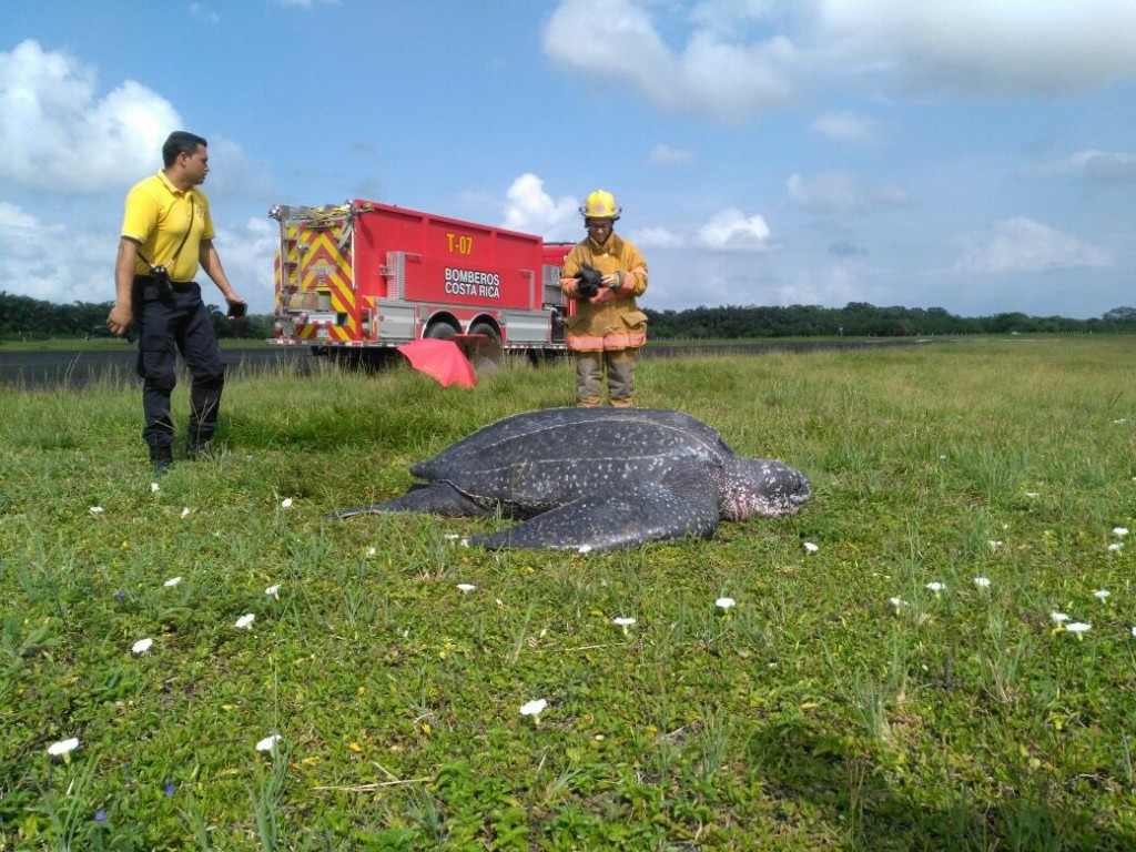 Leatherback turtle rescued from Costa Rica runway