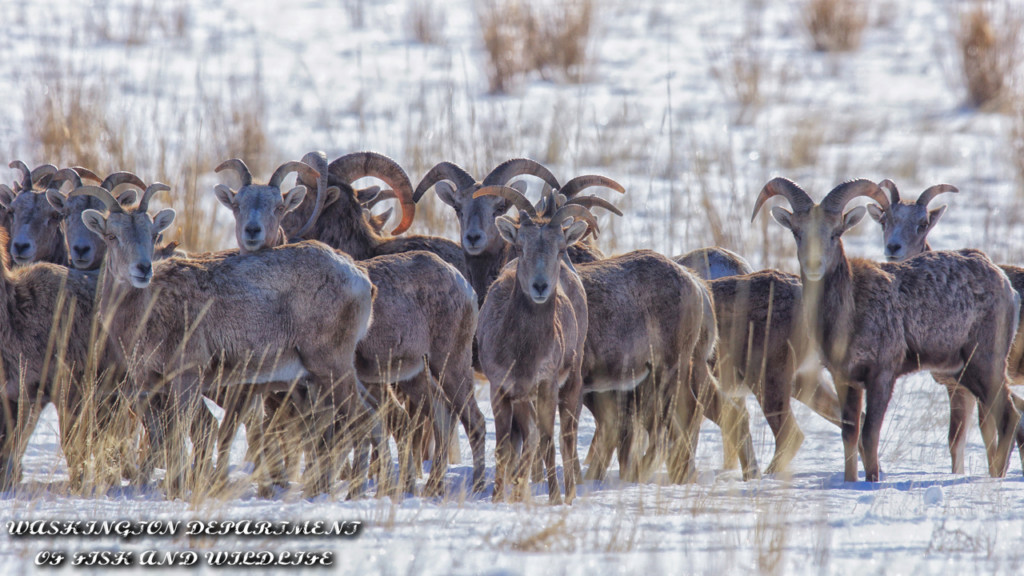 Up Close Look: WDFW captures, collars, translocates Chelan Butte bighorn sheep