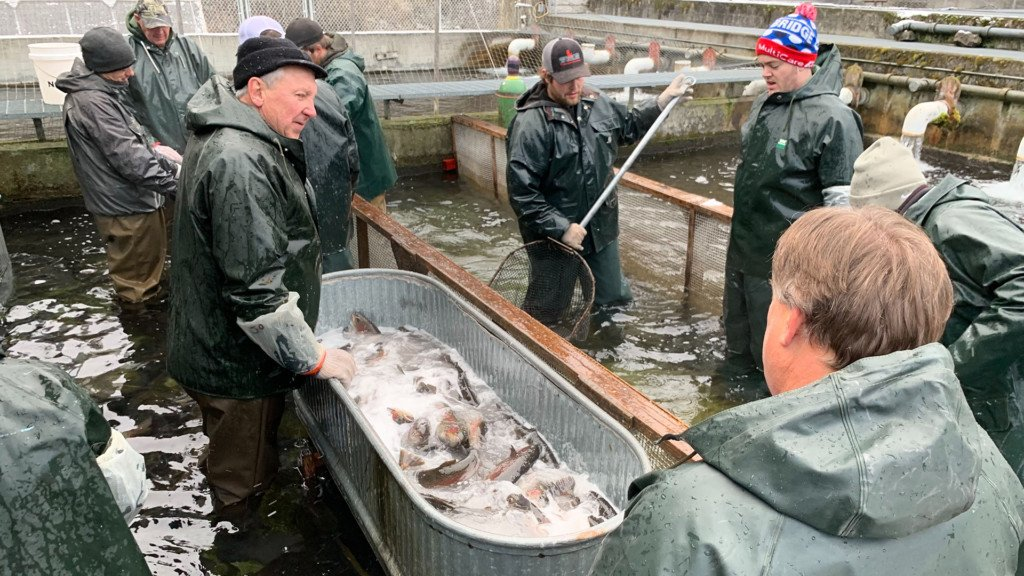 Volunteers spend hours hand-spawning trout at Spokane Hatchery