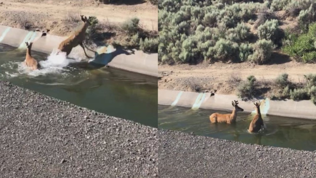 Two deer stuck in irrigation canal rescued by Kennewick officers