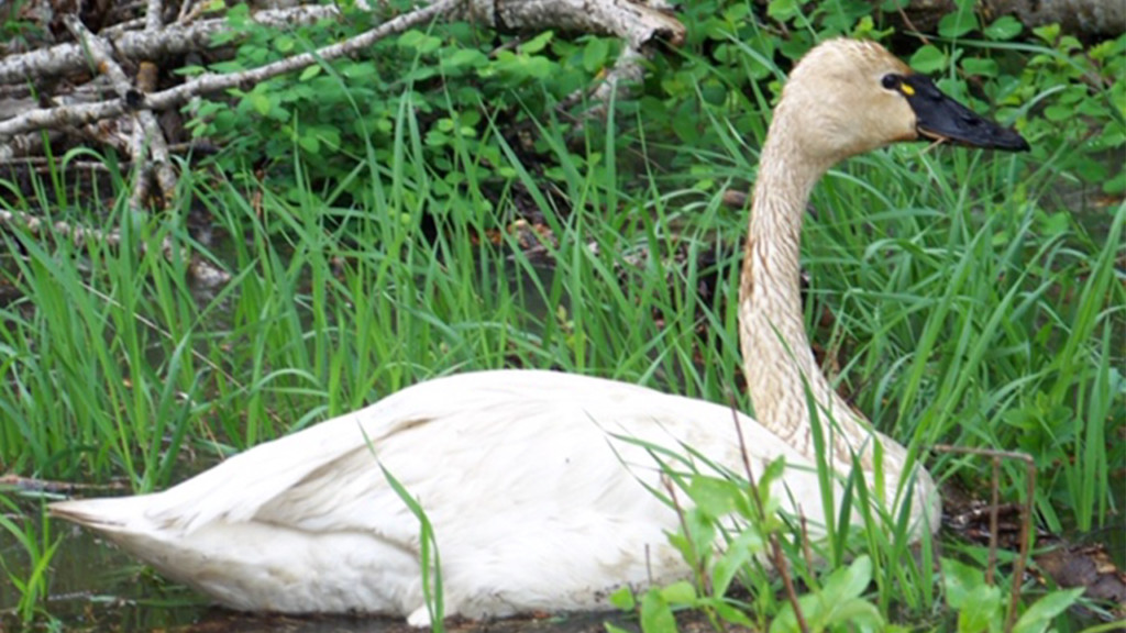 Tundra swans dying in Idaho, mine waste to blame