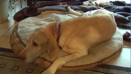 7-year-old Labrador Retriever recovering after being shot in the leg in Yakima