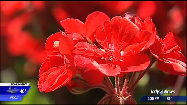 Thousands of geraniums planted in Coeur d'Alene