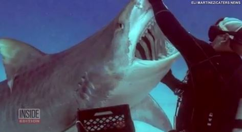 Tiger shark dances and shows off its jaws for diver