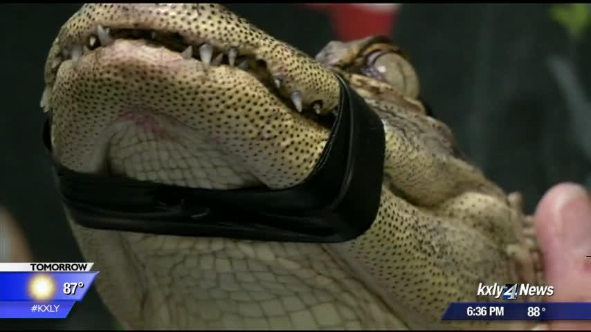 Washington State University veterinarians caring for confiscated crocodilian