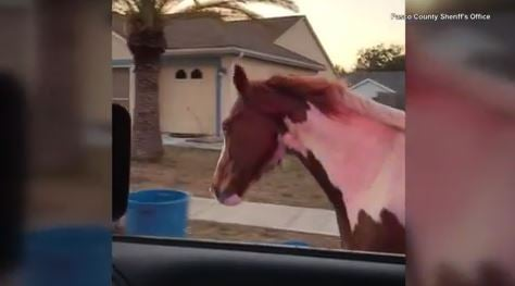Wayward horse galloping on highway leads police chase