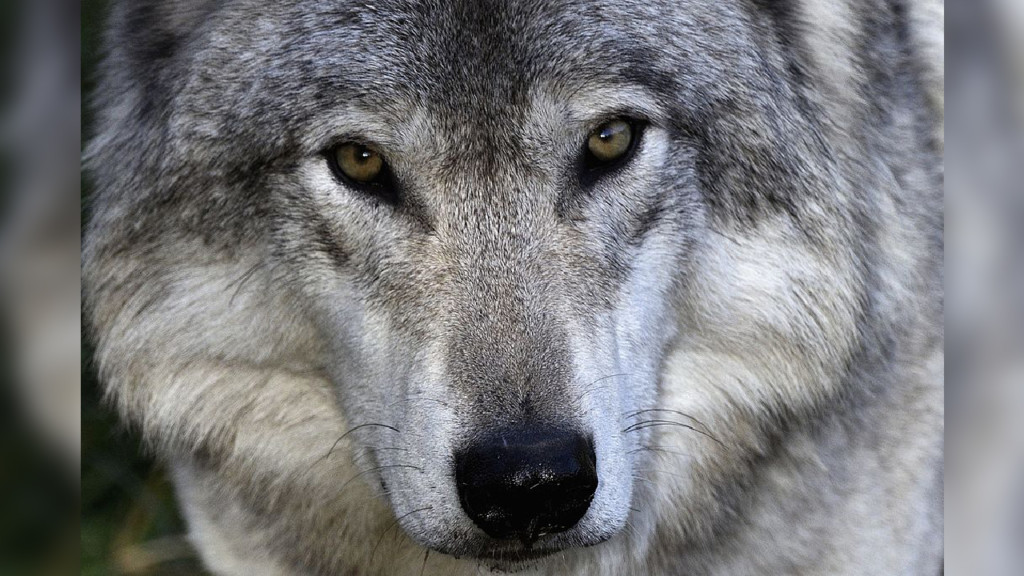 Environmental group worries about Washington wolf numbers