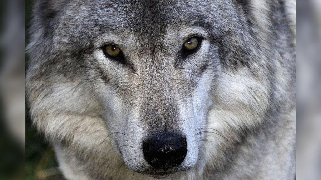 Wolf pack kills a cow in Eastern WA
