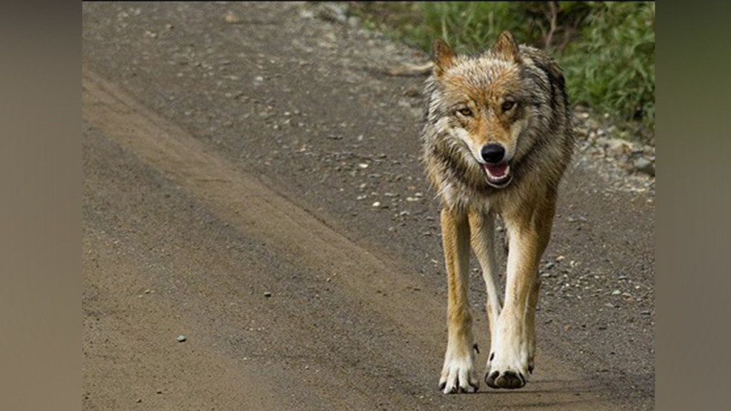 State will kill remaining 2 wolves of pack killing cattle