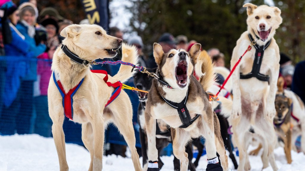 Anxious dogs barking and jumping at the head of a sled.