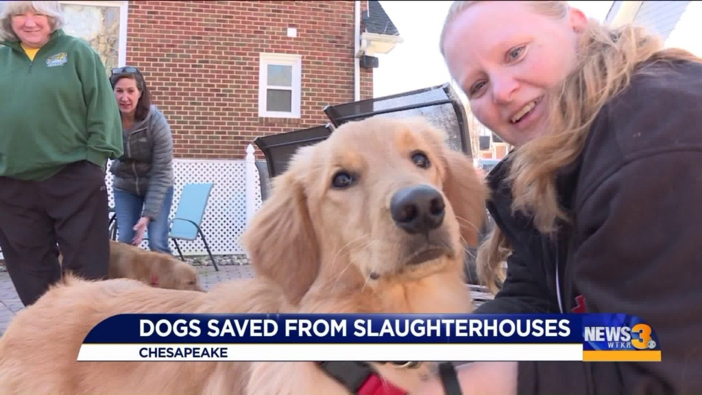 As revelers start off 2020 with New Year's resolutions, four golden retrievers are starting off with new homes, new owners and their lives. These dogs were rescued from slaughterhouses in China.