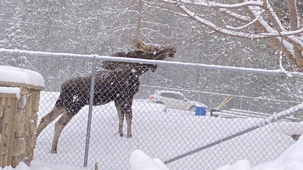 A moose walks around in the snow