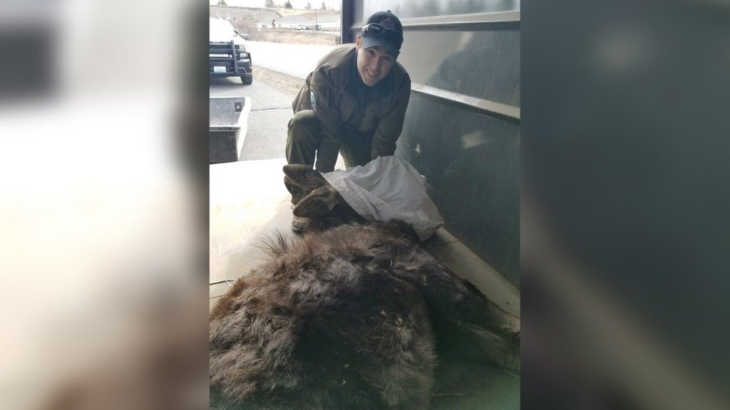 WDFW Officers tranquilized a Moose on the Palouse