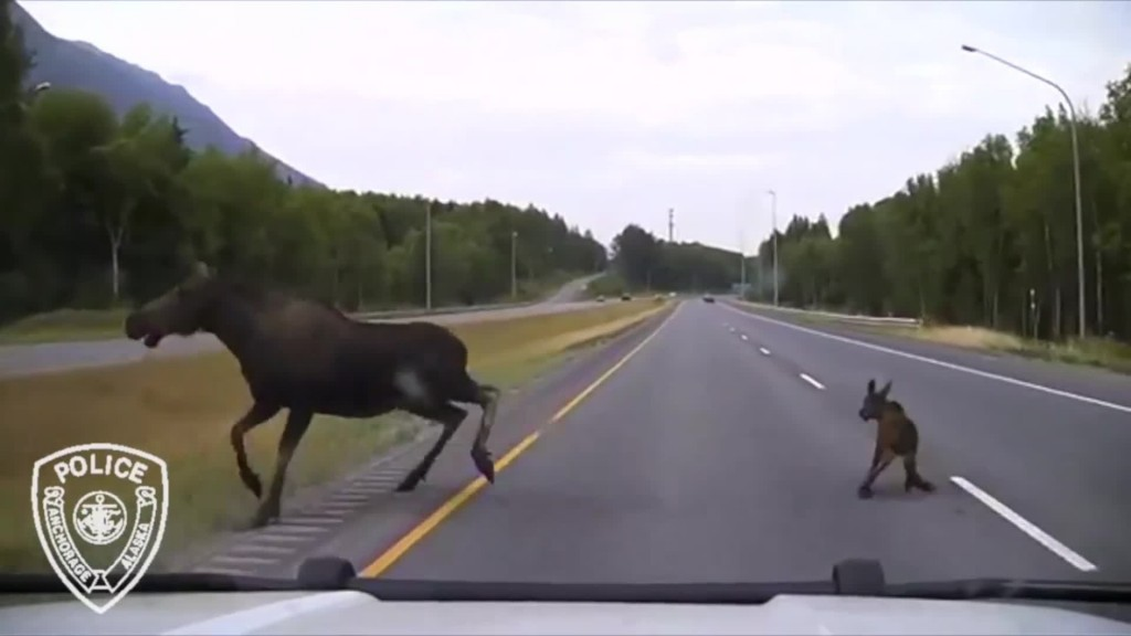 Police car misses collision with mama moose and calf