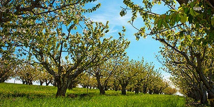 WSU Receives Largest Gift in History from Apple, Pear Growers