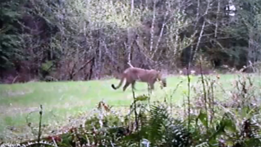 Cougar kills mountain biker, injures another near North Bend