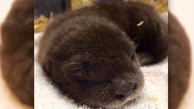 Help Oregon Zoo name otter pups