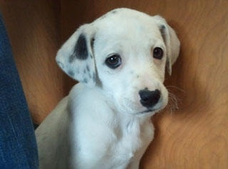 Dalmatian Puppy Found Abandoned In Dumpster