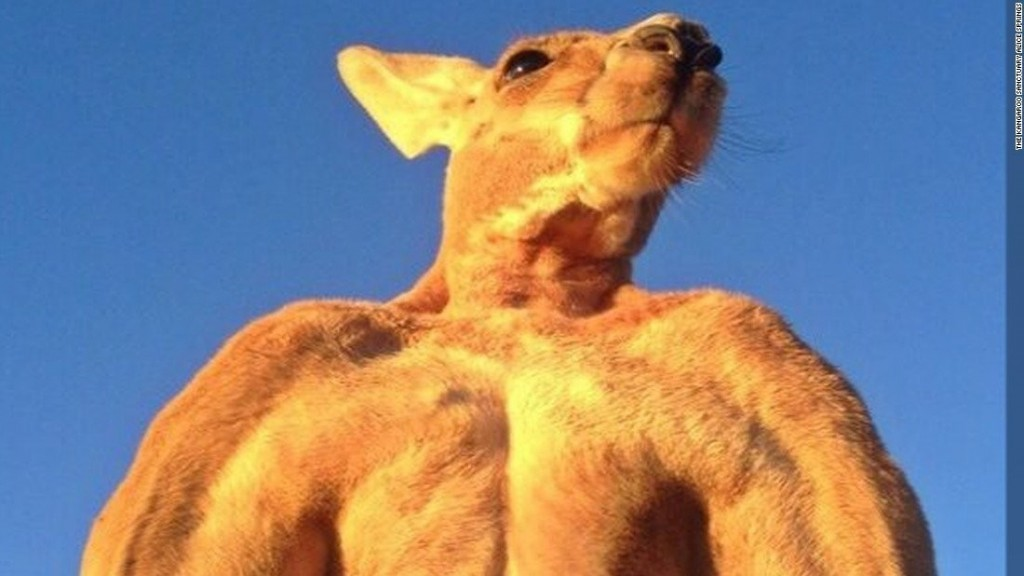 Roger, the ripped kangaroo and 'true icon,' has died